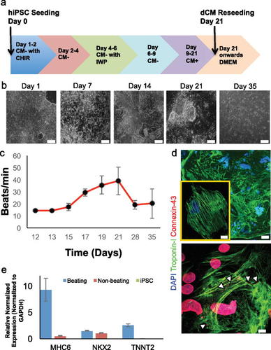 Human iPSC-derived myocardium-on-chip with capillary-like flow for