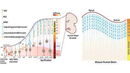 Review Synthetic Scaffolds To Control The Biochemical Mechanical And Geometrical Environment Of Stem Cell Derived Brain Organoids Apl Bioengineering Vol 2 No 4
